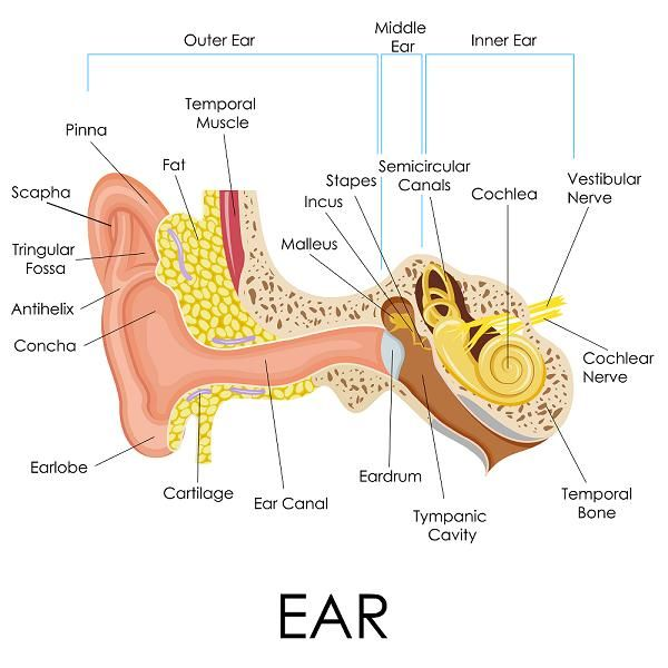 How the ear works all things hearing hearing test hearing aids your ear is an amazing organ that very simply put turns sound waves in the air into information in your brain ccuart Gallery