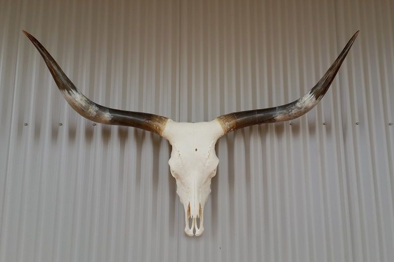 Texas Longhorn Horns And Hides For Sale