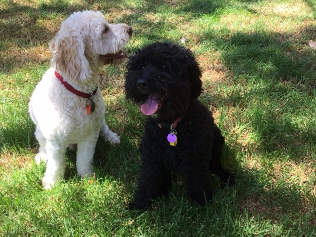 Lani & Jake - Vineyard Labradoodles - Labradoodles, Puppies