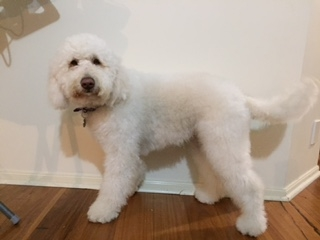 Meet the Dogs - Vineyard Labradoodles - Labradoodles, Puppies